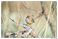 Fairy-wrens, Grasswrens