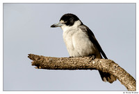 Butcherbirds, Woodswallows