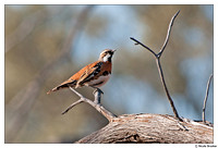 Whipbirds, Quail-thrushes