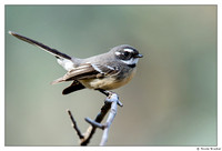 Grey Fantail