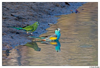 Golden-shouldered Parrot
