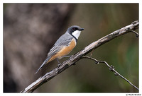 Shrike-tit, Whislters, Shrike-thrush
