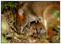 Red-legged Pademelon
