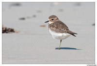 Double-banded Plover