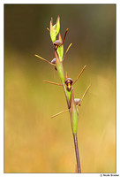 Horned Orchid