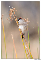 Plum-headed Finch