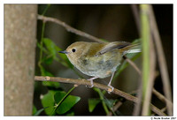 Large-billed Scrubwren
