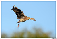 Plumed-whistling Duck