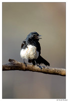 Willie Wagtail